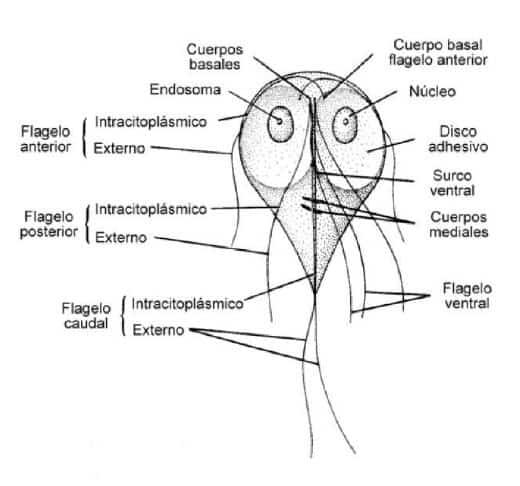 giardia duodenalis morfologia a platyhelminthes testürege